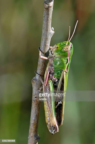 Stripewinged grasshopper La Brenne France
