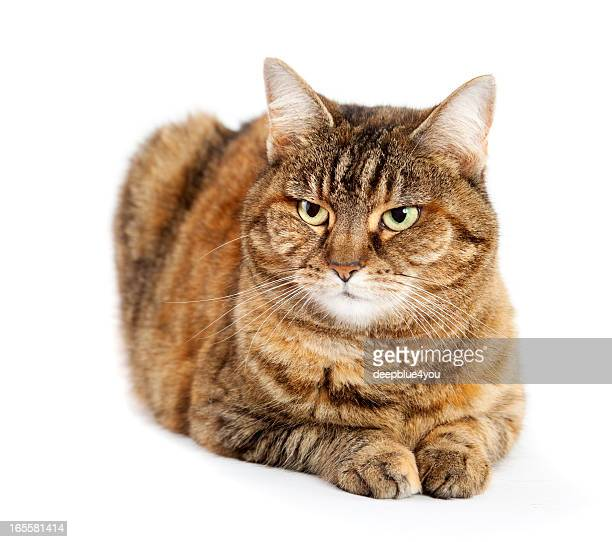 stripped brown cat on white