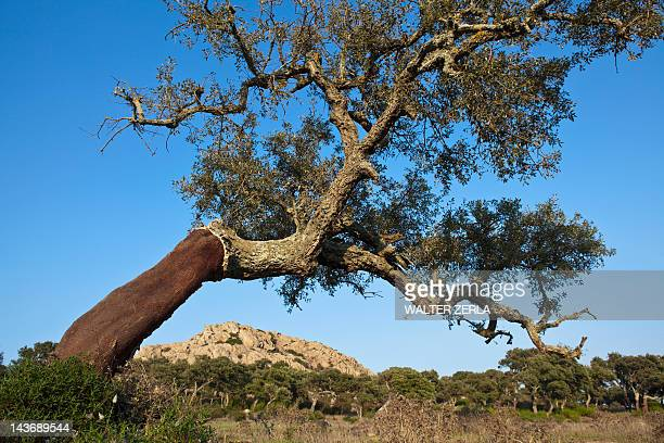 stripped cork tree in rural field - cork tree stock photos and pictures