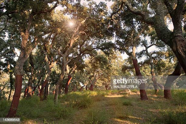 stripped cork trees in rural forest - cork tree stock photos and pictures