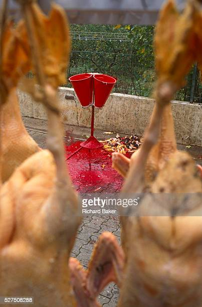 Stripped of their feathers plucked ducks await the next stage during a family Foie Gras business in French Alsace The Kessler family live on a farm...