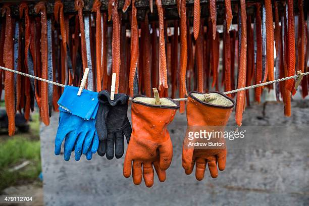 Strips of freshly caught salmon hang to dry on June 30 2015 in Newtok Alaska Newtok which has a population of approximately of 375 ethnically Yupik...