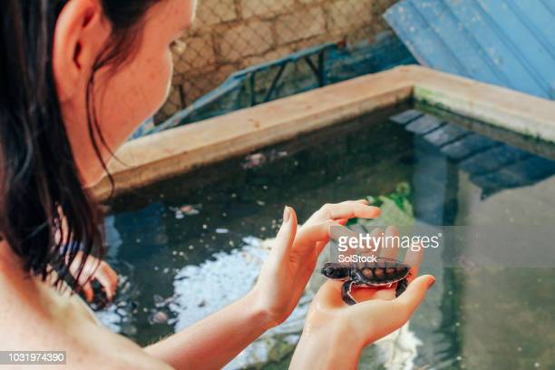 stroking a baby sea turtle in sri lanka - threatened species stock pictures, royalty-free photos & images