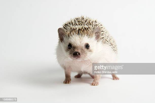 Strolling Hedgehog