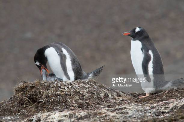 Gentoo penguins, Pygoscelis papua, rear their penguin chicks at a colony.