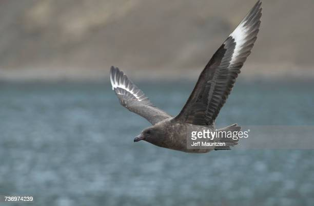 A brown skua, Stercorarius antarcticus, in flight over Stromness Bay.