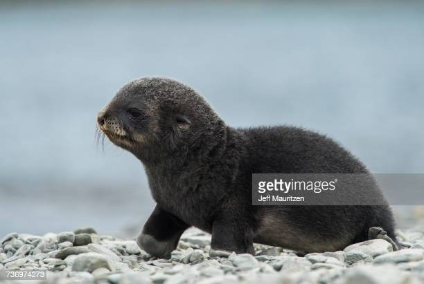A newborn fur seal pup walks along the rocky beach.
