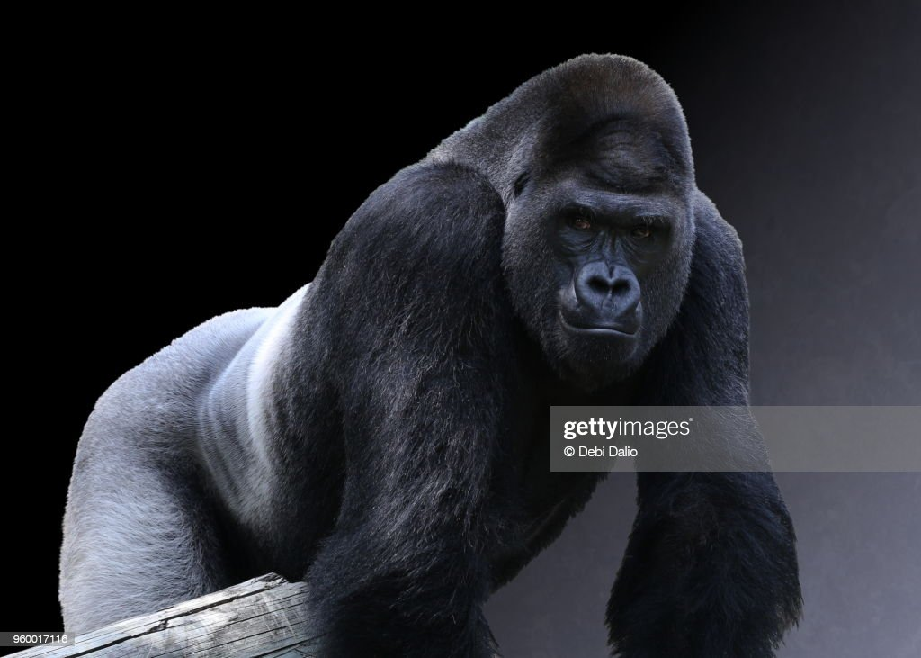 Strong Adult Male Western Lowland Gorilla : Stockfoto