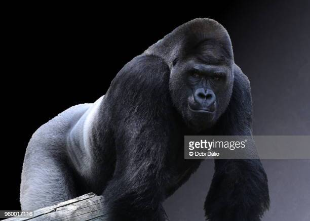 strong adult male western lowland gorilla - gorilla stock pictures, royalty-free photos & images