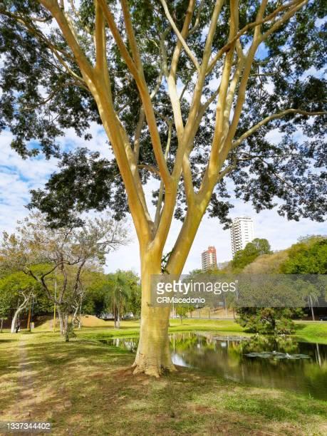 strong tall tree stem. - crmacedonio bildbanksfoton och bilder