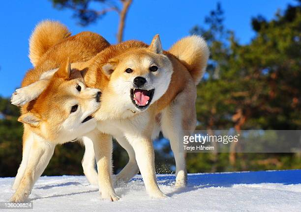 strongest. - shiba inu winter stock pictures, royalty-free photos & images