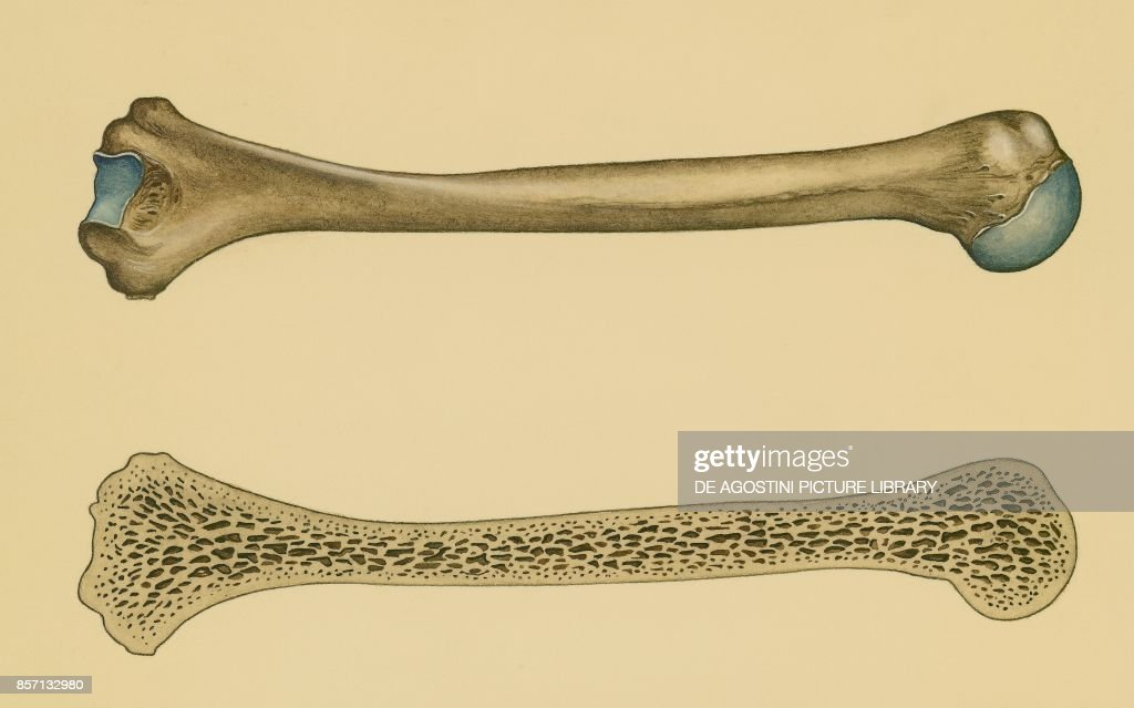 Structure Of Long Bone Section Human Body Pictures Getty Images