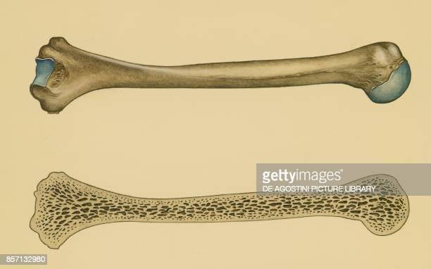 Structure of a long bone section human body drawing