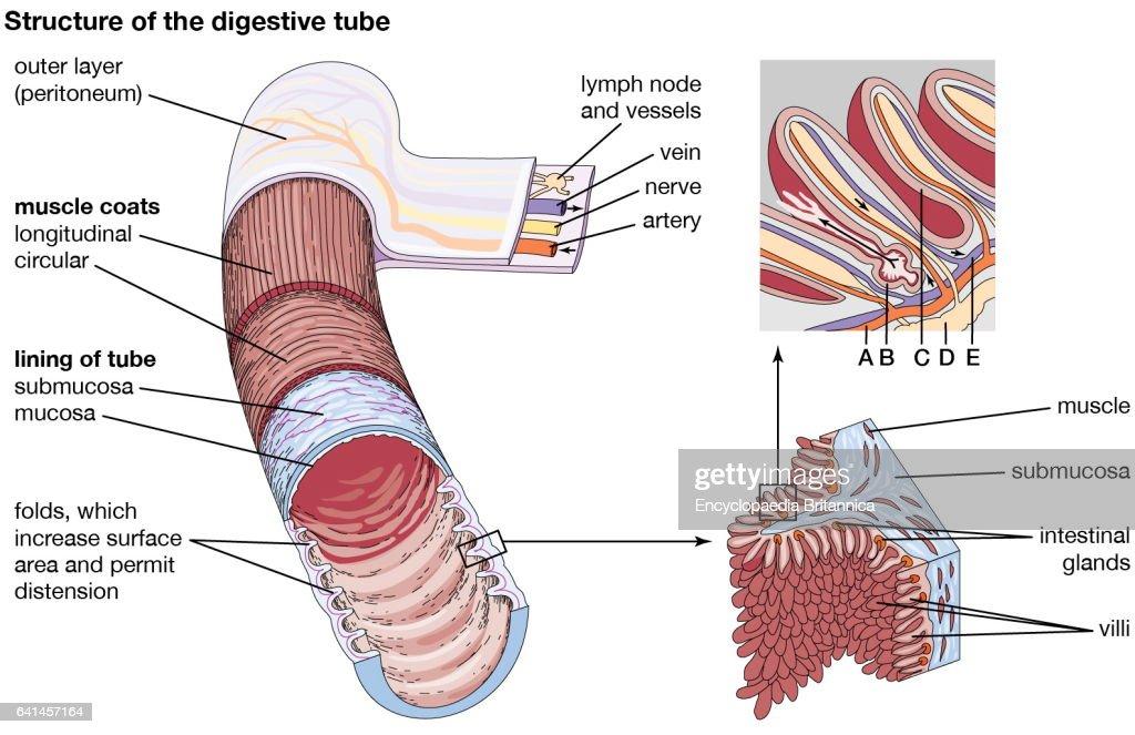 Villi Digestive System Diagram Custom Wiring Diagram