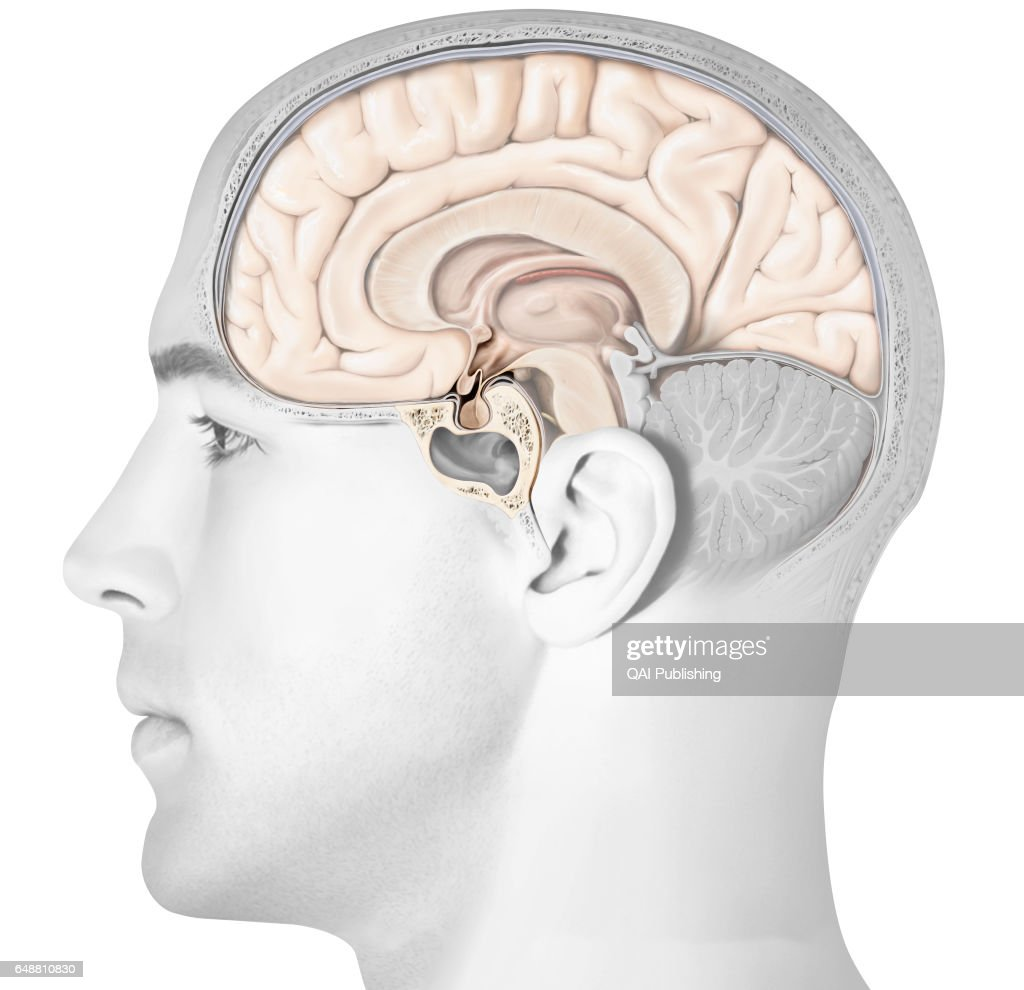 Pituitary Gland Stock Photos And Pictures Getty Images