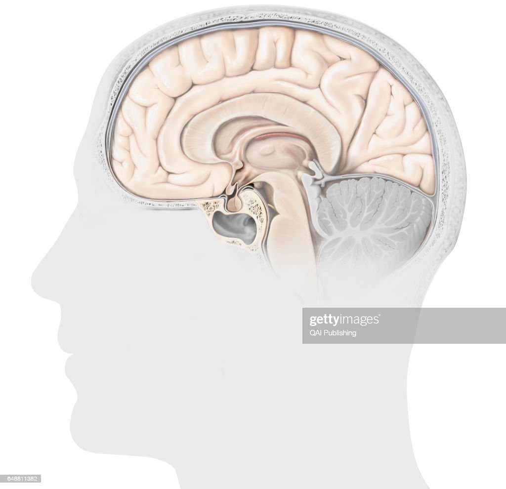 Structure Of The Pituitary Gland The Pituitary Gland Consists Of