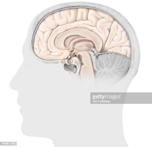 Structure of the pituitary gland The pituitary gland consists of two lobes the adenopituitary and the neuropituitary The adenohypophysis secretes the...