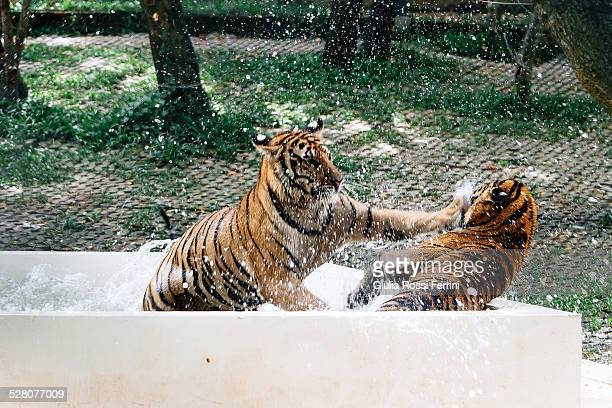 struggle between tigers - thailandia stock photos and pictures