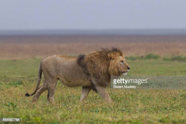Strutting Lion