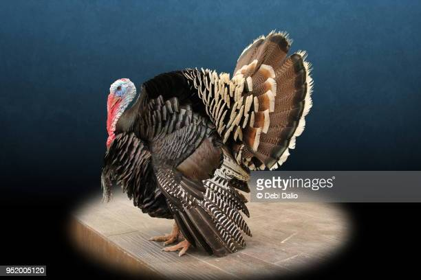 strutting male turkey portrait - turkey bird stock pictures, royalty-free photos & images