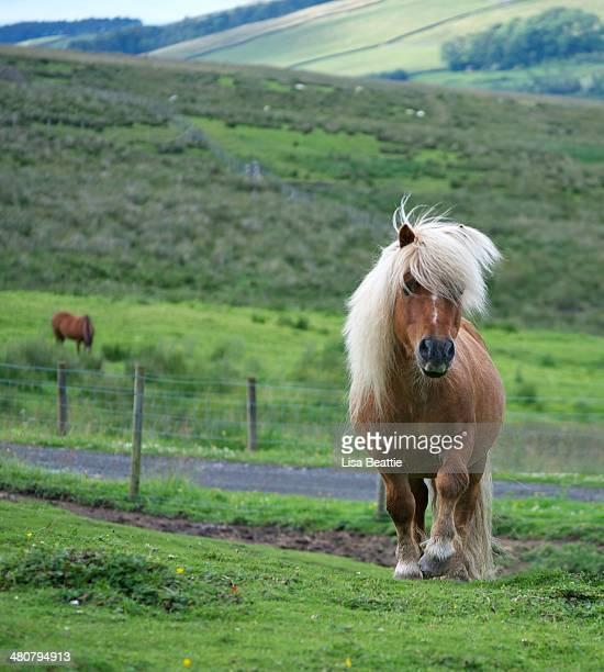 Strutting Shetland Stallion