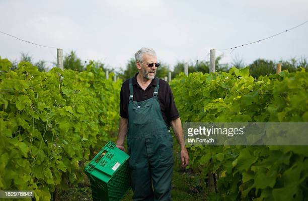 Stuart Smith inspects his vines as work begins at the start of the first grape harvest this year at Ryedale Vineyards on September 28 2013 in Malton...