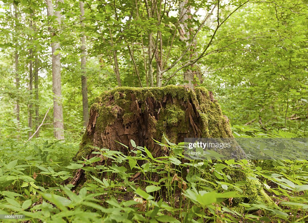Stub in natural forest : Stock Photo