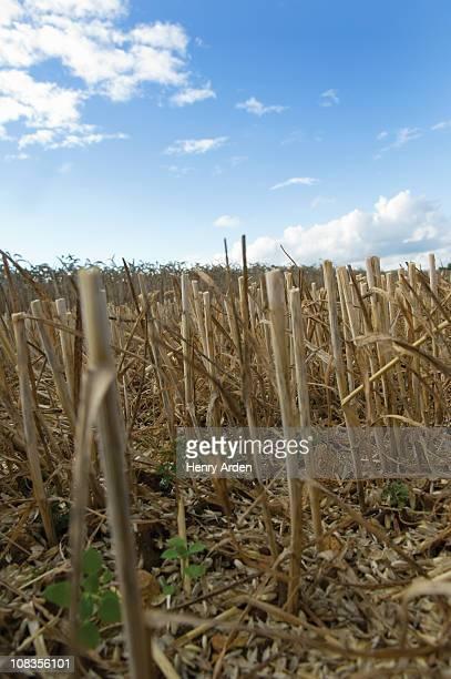 Stubble in wheat field