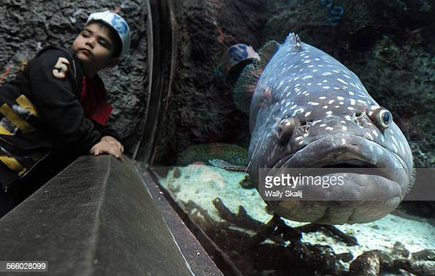A student from the City of Terrace Elementary gets up close and personal with a Queensland Grouper at the Aquarium of the Pacific in Long Beach