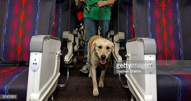 Student guide dog Max a Golden Retreiver puppy walks the aisle of a plane during their training program March 27 2004 at New Liberty International...