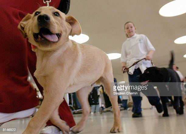 Student guide dog Max a Golden Retreiver puppy walks through the arrivals area during their training program March 27 2004 at New Liberty...