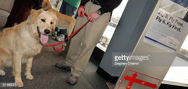 Student guide dog Silvio a Golden Retreiver sits in the boarding area as he waits to board a plane during the training program March 27 2004 at New...