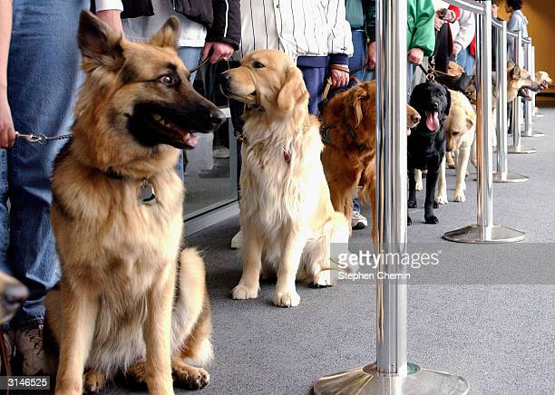 Student guide dogs queue up to pass through the security area during their training program March 27 2004 at New Liberty International airport in New...