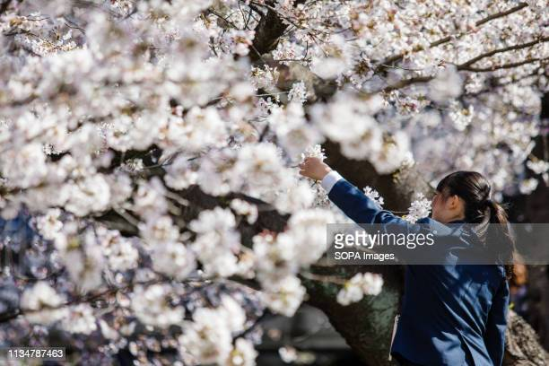 A student seen taking photos of Cherry Blossoms during the Iwakura Cherry Blossom Festival The highlight of the festival is long line of trees...