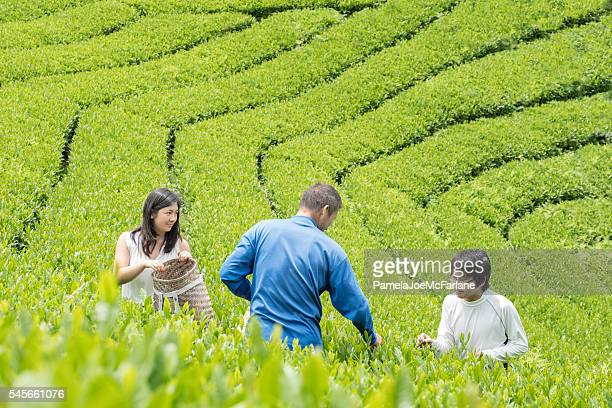students learning tea cultivation from mature japanese farmer in plantation - mixed farming stock pictures, royalty-free photos & images