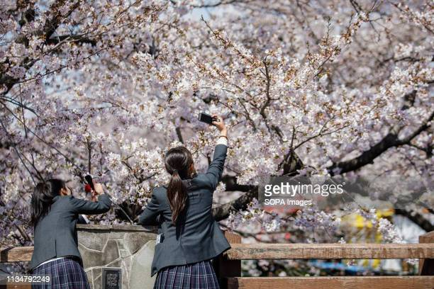 Students seen taking photo of Cherry Blossoms during the Iwakura Cherry Blossom Festival The highlight of the festival is long line of trees created...