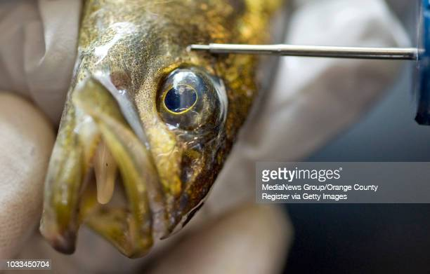 Students use a tagging device to insert a tiny chip into an anesthetized white seabass so that its origins can be traced if it's caught in the wild...