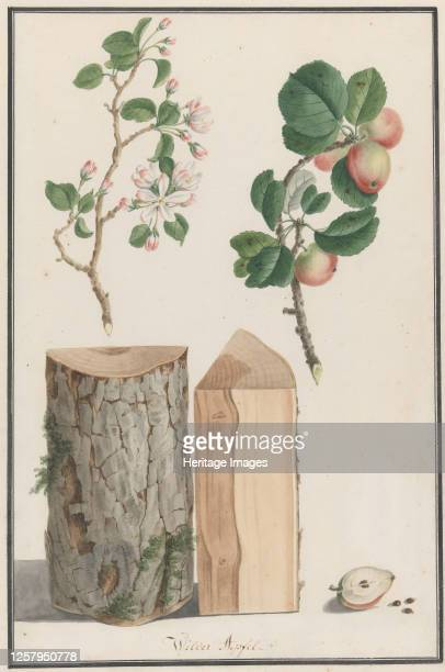 Studies of the trunk, blossoms and fruit of a wild apple tree , 1788. Artist Ludwig Pfleger.