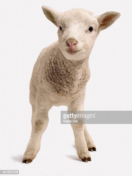 Studio Cut Out of a Lamb Standing, Front view