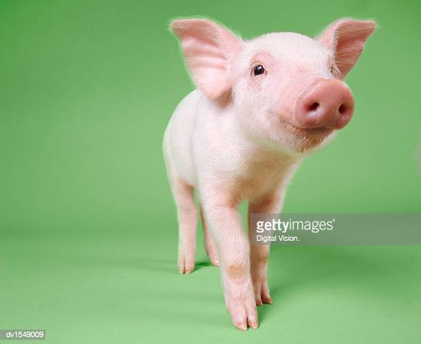 studio cut out of a piglet standing - cute stock pictures, royalty-free photos & images
