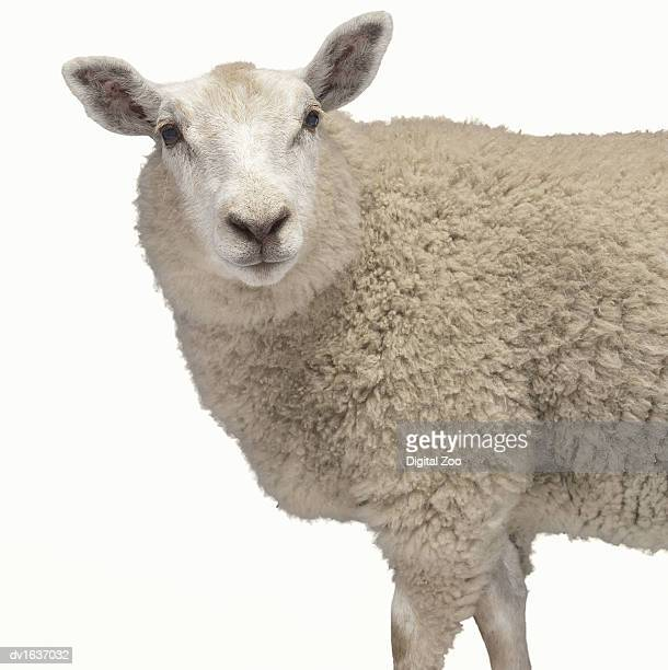 Studio Cut Out of a Sheep