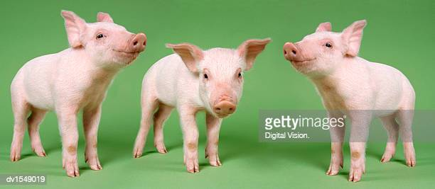 studio cut out of three piglets standing - three animals stock pictures, royalty-free photos & images