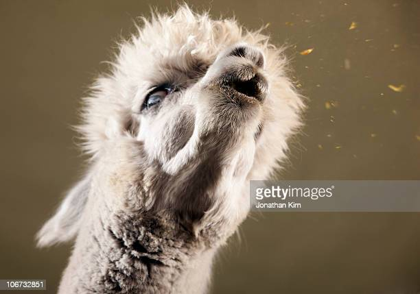 studio image of alpaca spitting.   - lama stock pictures, royalty-free photos & images