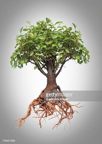 Studio photo of a tree with roots