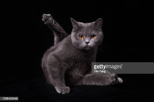 studio photo of british shorthair cat against black background - british shorthair cat stock pictures, royalty-free photos & images