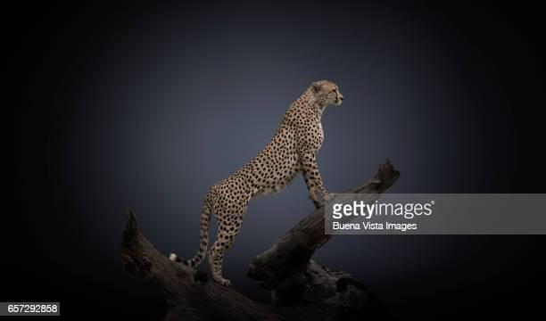 Studio photograph of a Cheetah (Acinonyx jubatus) on a branch