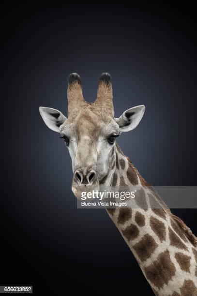 studio photograph of a northern giraffe (giraffa camelopardalis) - girafe photos et images de collection