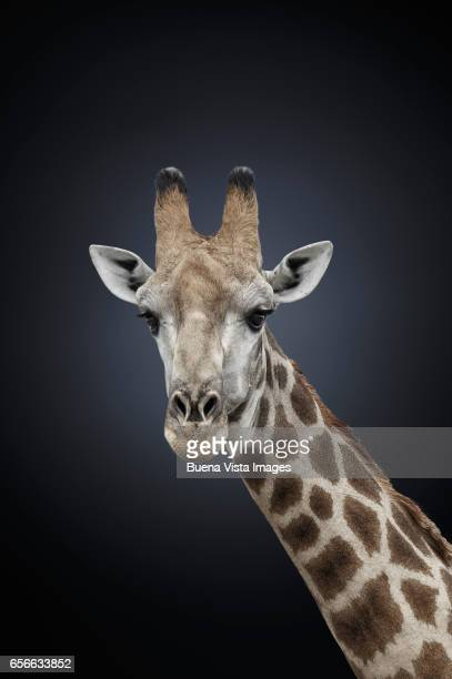Studio photograph of a northern giraffe (Giraffa camelopardalis)