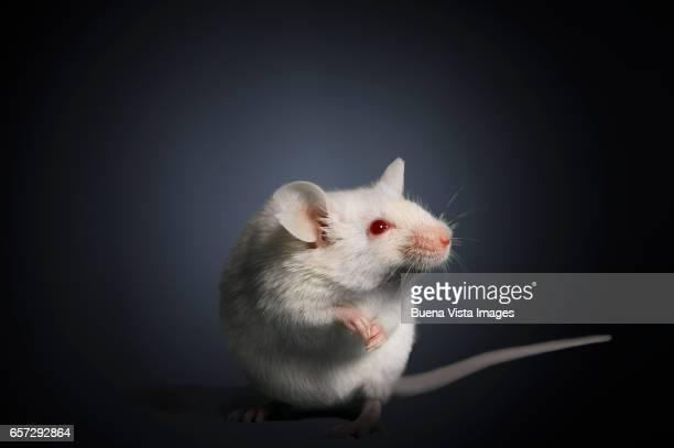 Studio photograph of a white mouse