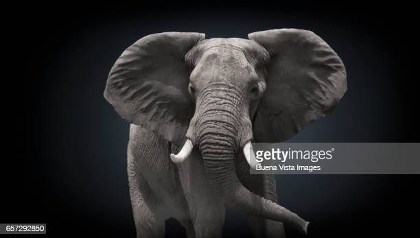 Studio photograph of an African Elephant  (Loxodonta africana)